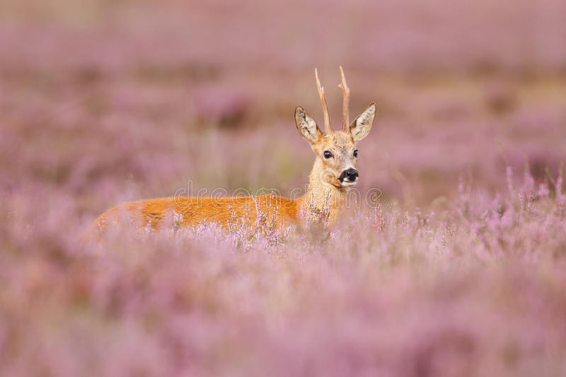 Download Roe deer stock photo. Image of park, capreolus, heather - 26465988