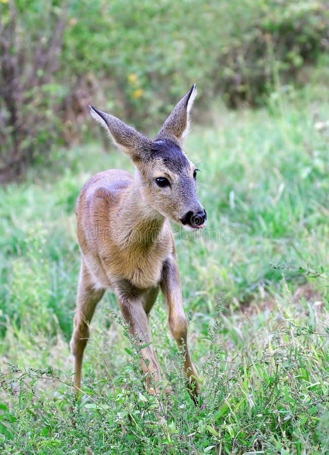 Roe deer. stock photography
