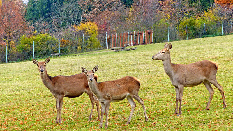 Roe deer in an animal enclosure. In Ore Mountains in Germany, three female animals on a meadow stock photos