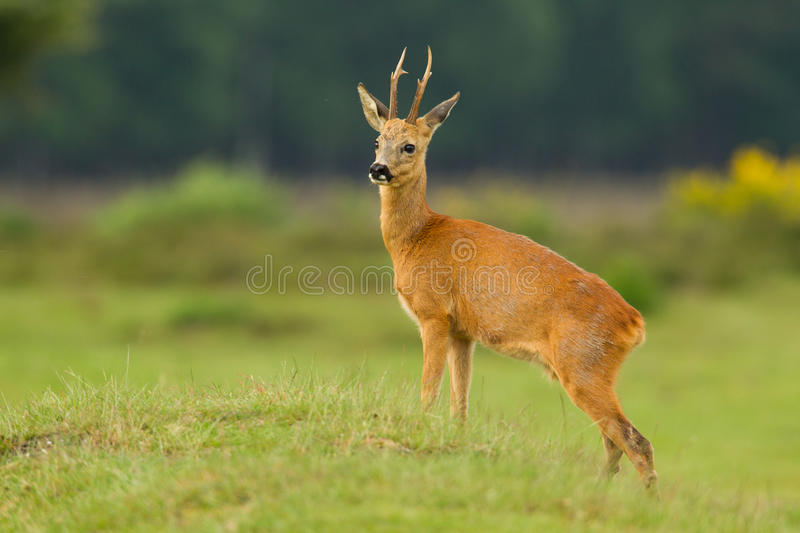 Roe deer buck looking proud royalty free stock photo
