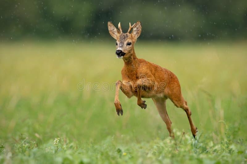 Roe deer buck running fast across green field in light summer rain royalty free stock photo