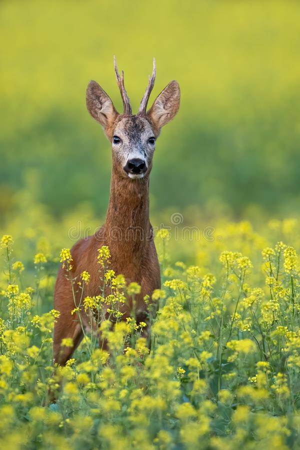 Roe deer buck standing on a flowery rape field with yellow flowers in summer royalty free stock photos