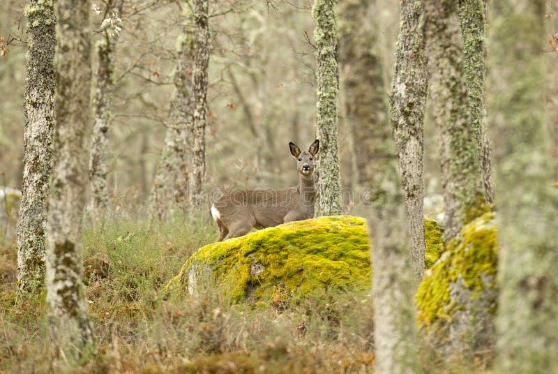 Roe deer, Capreolus capreolus royalty free stock photography