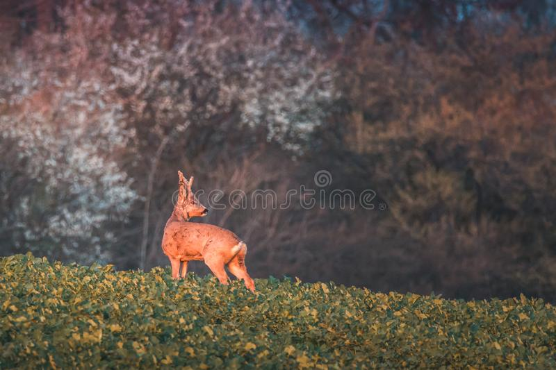 Roe deer, capreolus capreolus, buck in summer on a meadow at sunset. royalty free stock photos