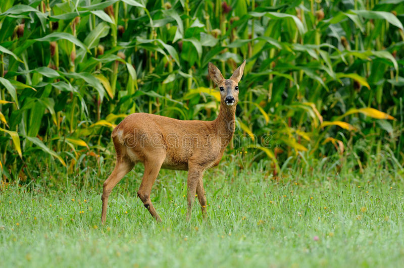 Roe Deer (Capreolus Capreolus). The deers you can see frequently in the dawn. Sadly very much of this beautiful animals you can see on the roadside, because they stock photos