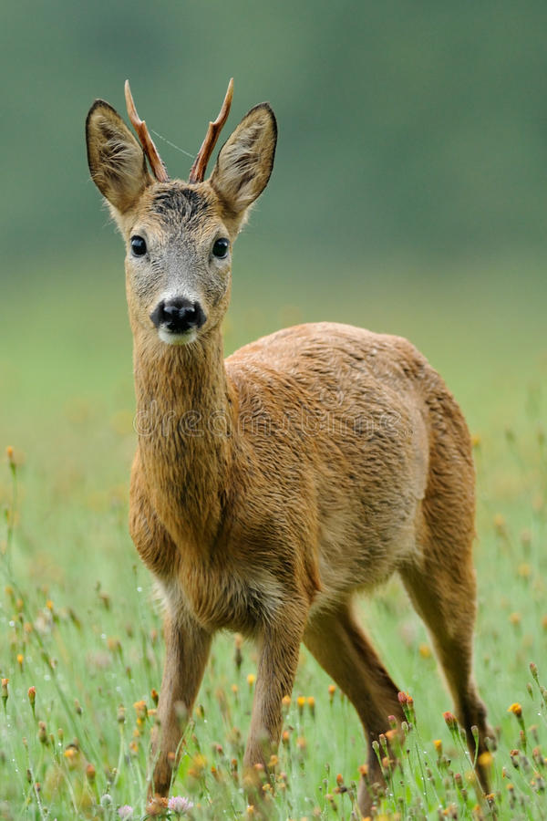 Roe Deer (Capreolus Capreolus). The deers you can see frequently in the dawn. Sadly very much of this beautiful animals you can see on the roadside, because they stock photo