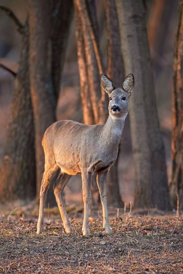Roe deer, capreolus capreolus, doe standing in forest between trees at sunset. stock photos