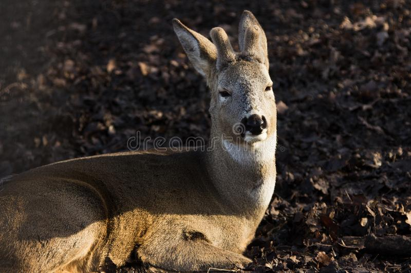 Roe deer closeup in the forest stock photo