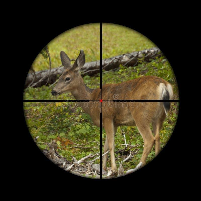 Roe deer in crosshairs royalty free stock photo