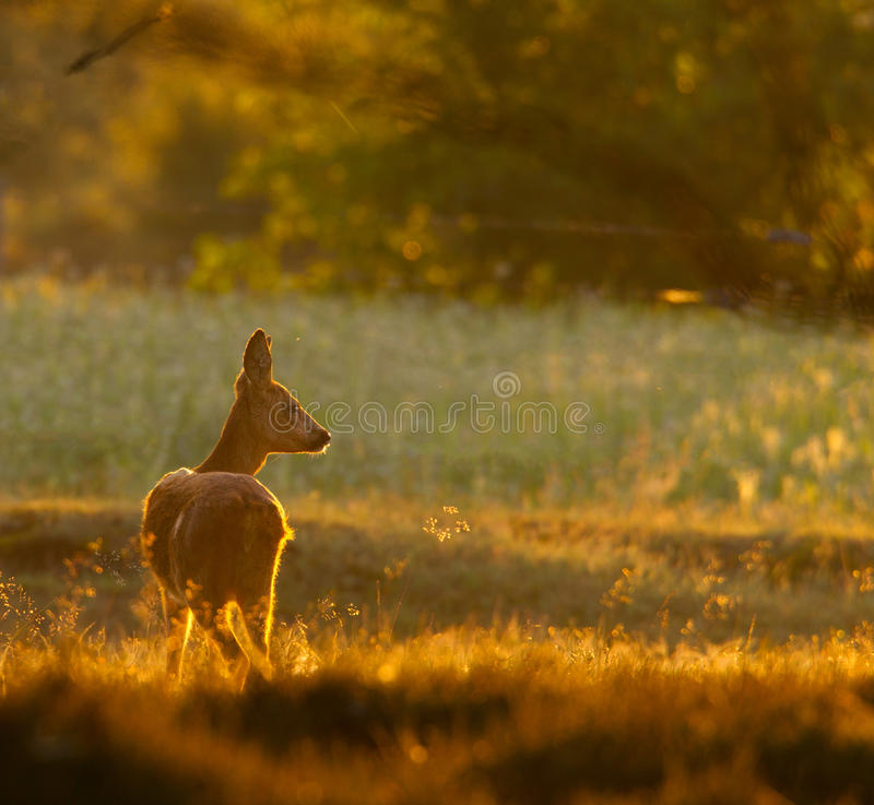 Free Roe Deer Doe In The Moring Light Royalty Free Stock Photos - 15086368