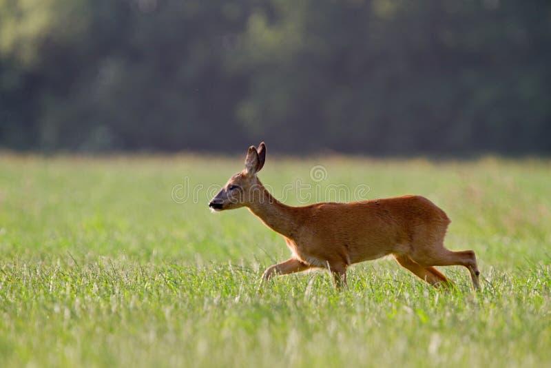 Roe Deer Doe royalty-vrije stock afbeelding