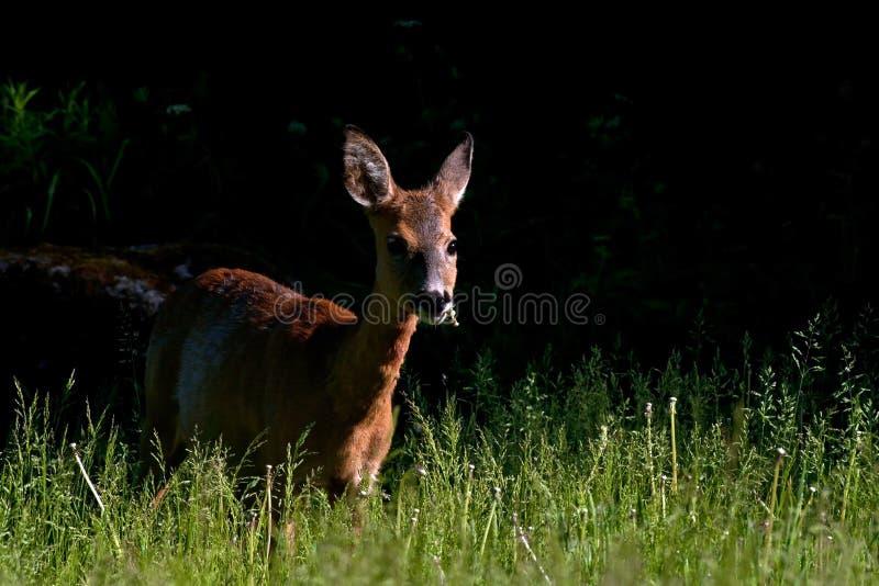 Roe Deer féminin se tenant dans un domaine photographie stock