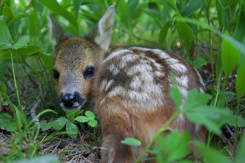 Download Roe Deer fawn stock photo. Image of fawn, forest, female - 12109226