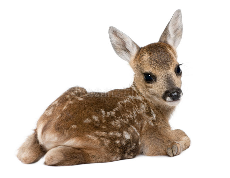 Roe deer Fawn - Capreolus capreolus (15 days old). In front of a white background royalty free stock photography