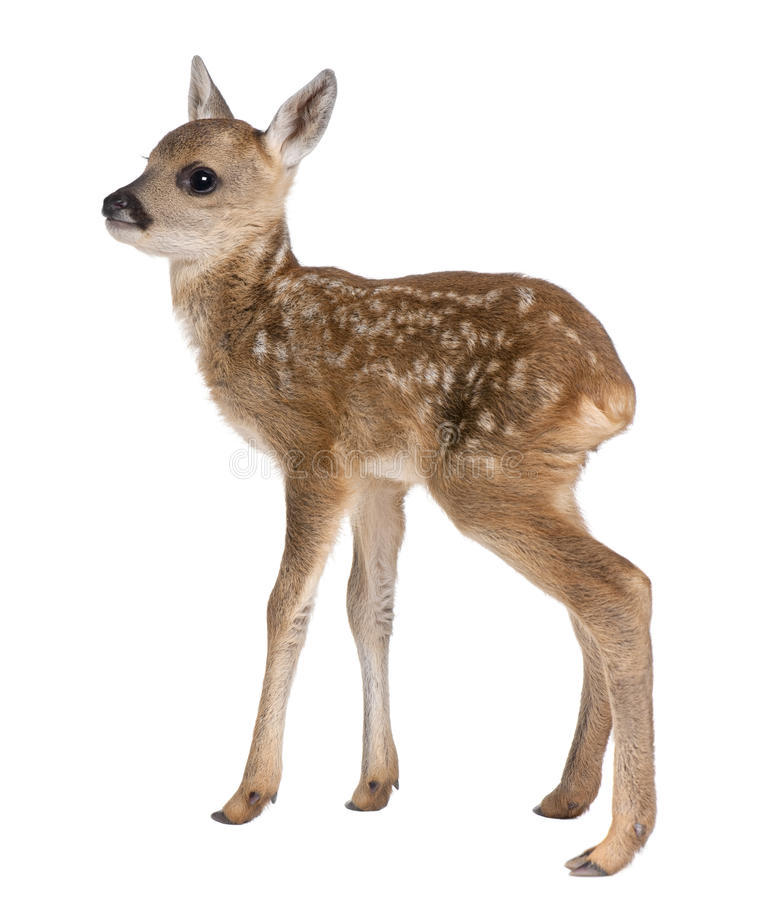 Roe deer Fawn - Capreolus capreolus (15 days old) stock photography