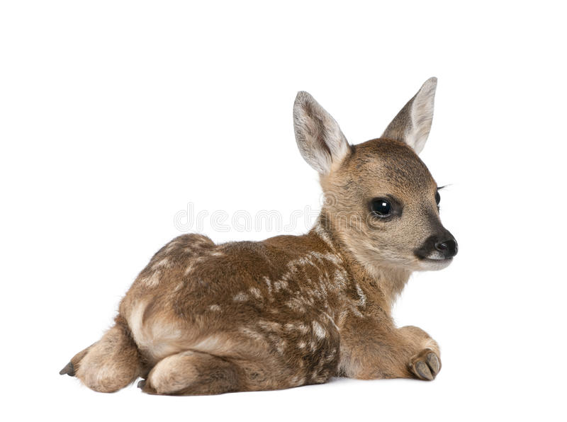 Roe Deer Fawn in front of a white background royalty free stock photography