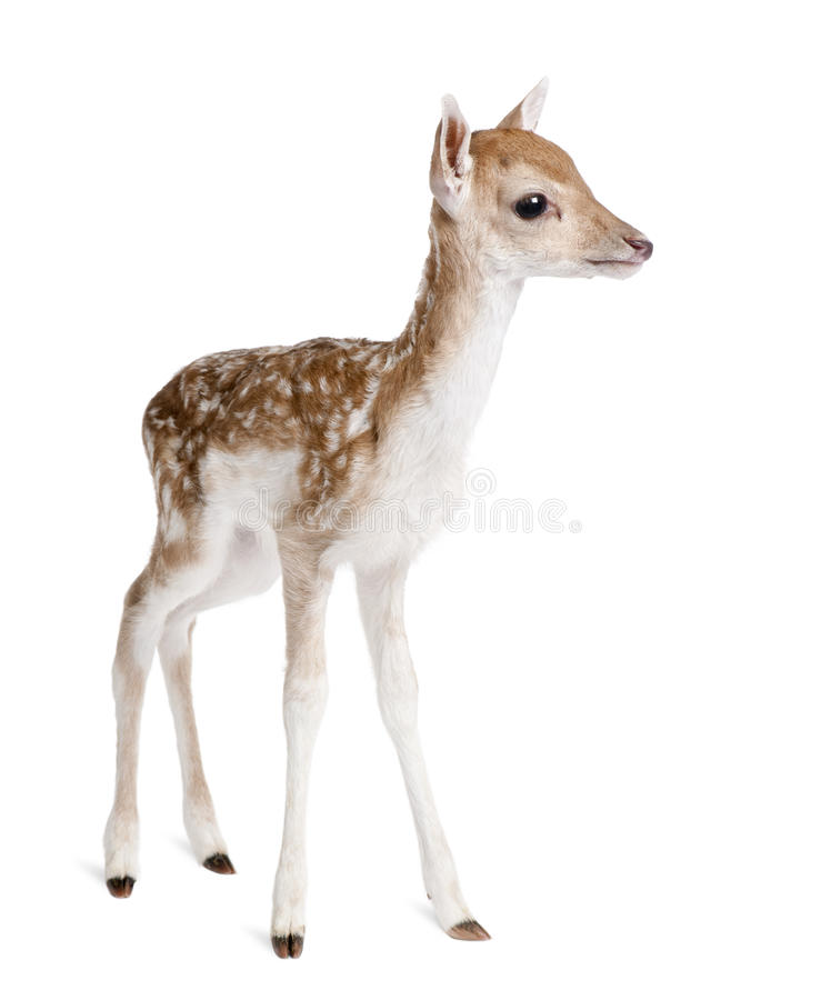 Roe Deer Fawn in front of a white background stock images