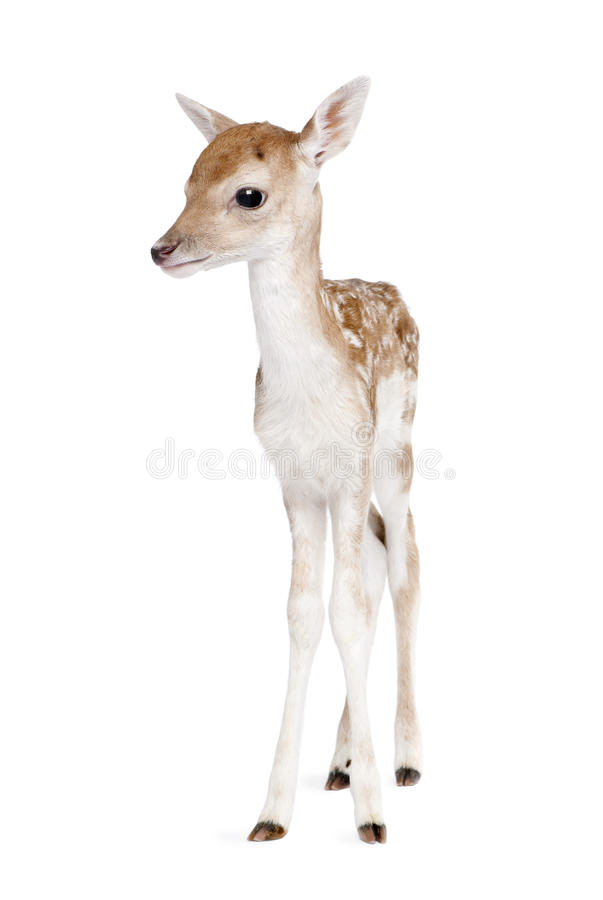 Roe Deer Fawn in front of a white background stock photography