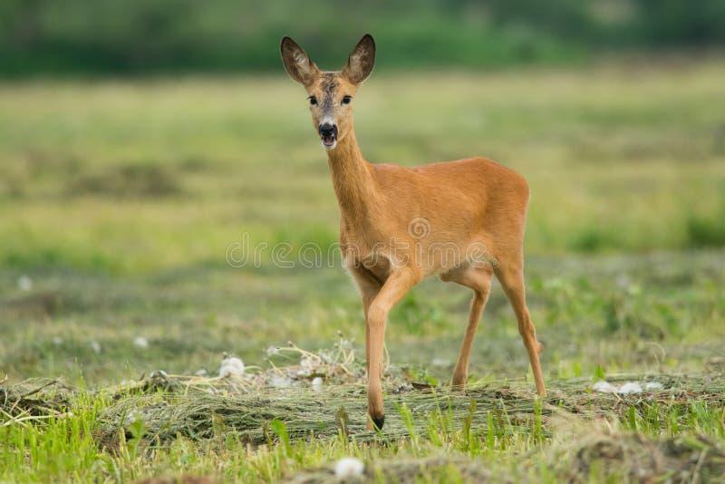 Roe deer. Female roe deer walking proudly on a freshly mowed meadow in summer