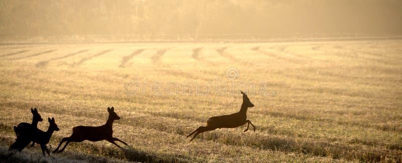 Roe deer in field stock photo