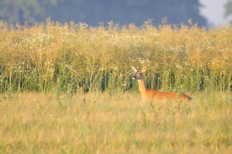 Roe deer in the field. During a summer morning royalty free stock image
