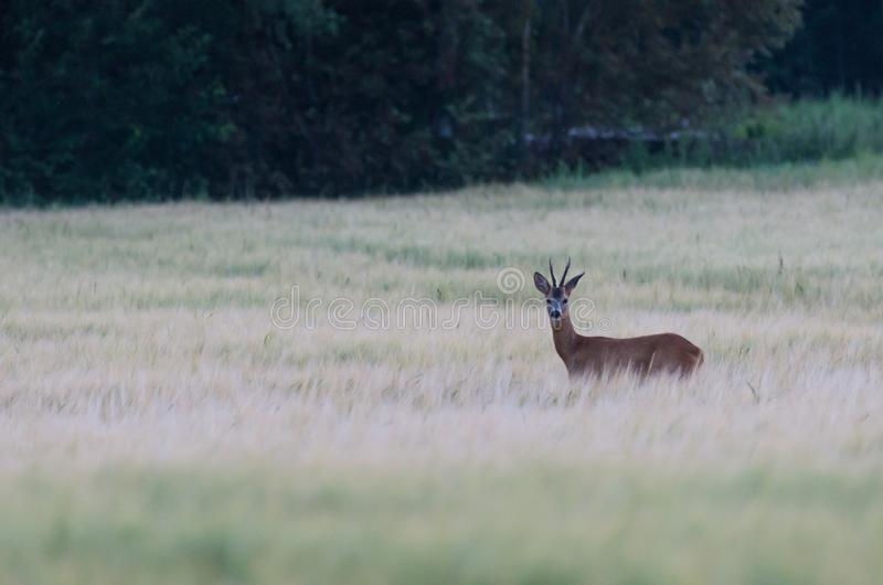 Roe deer on a field in a tall grass royalty free stock photo