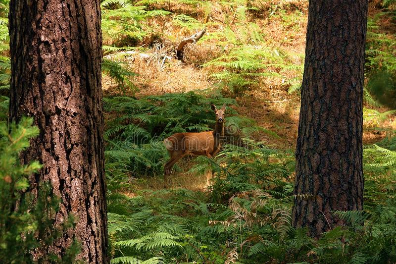 Roe deer in a forest. stock image