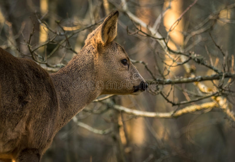 Download Roe Deer In Forest With Trees In Background Stock Photo - Image: 83700190