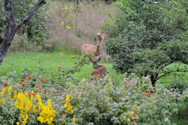 Roe deer in garden royalty free stock photo