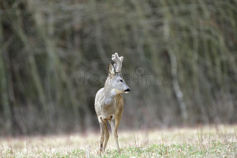 Portrait of a roe deer with growing antlers close up on a meadow. Roe deer with growing antlers comes out to the pasture at the edge of the forest stock photos
