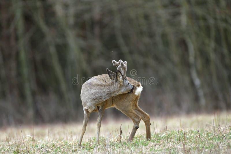 Roe deer with growing antlers gets rid of parasites by tongue on the body. Roe deer with growing antlers walking  on the meadow in spring royalty free stock photos