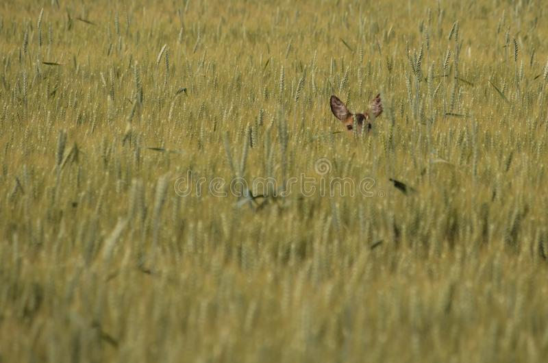 Roe deer hiding in the field. stock photography
