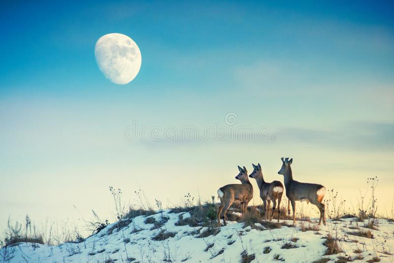 Roe deer on a hill looking to moon. Group of roe deer on a hill, blue sky and moon