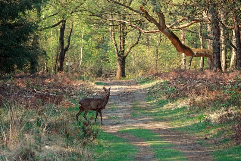 Roe deer looking at photographer in the woods. European deer crossing the road in the forest of the Sprengenberg on the Sallandse Heuvelrug in the Netherlands on stock photo