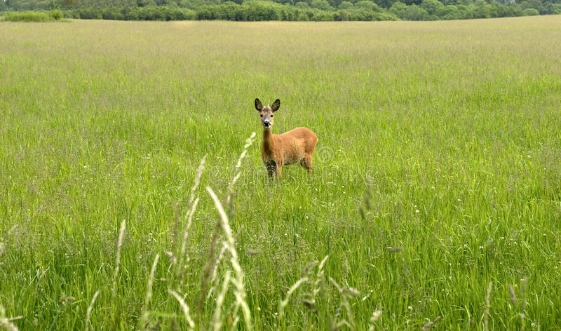 Roe Deer Looking At You Stock Photos