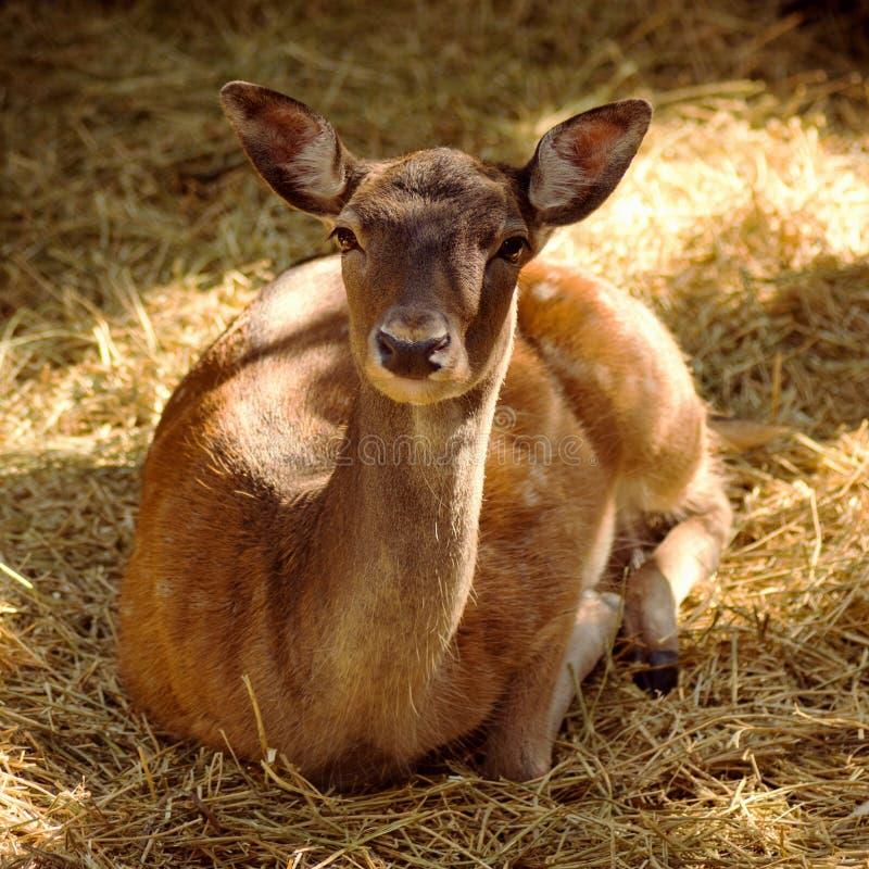 Roe deer lying down royalty free stock images
