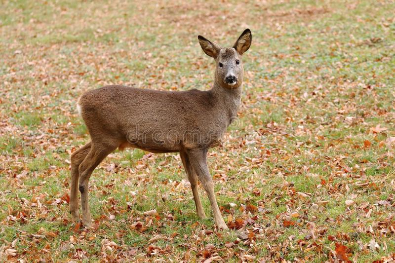 Roe deer male without antlers royalty free stock photo