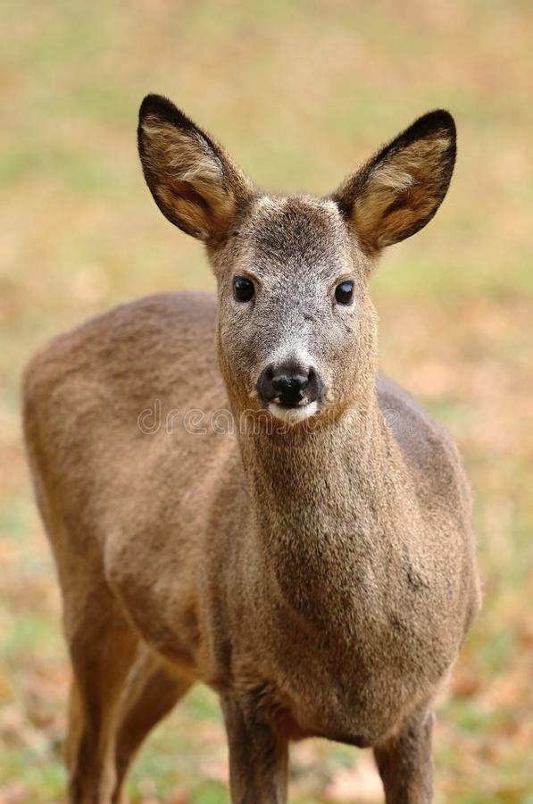Roe deer male without antlers stock photos