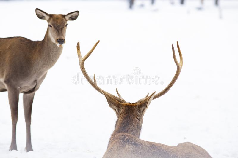 roe deer and noble deer stag in winter snow royalty free stock photo