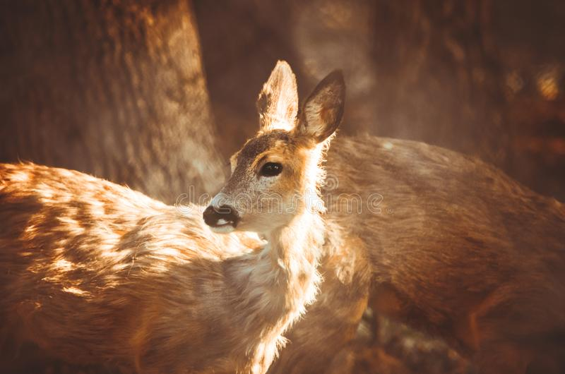 Roe deer portrait on brown wooden background royalty free stock photo