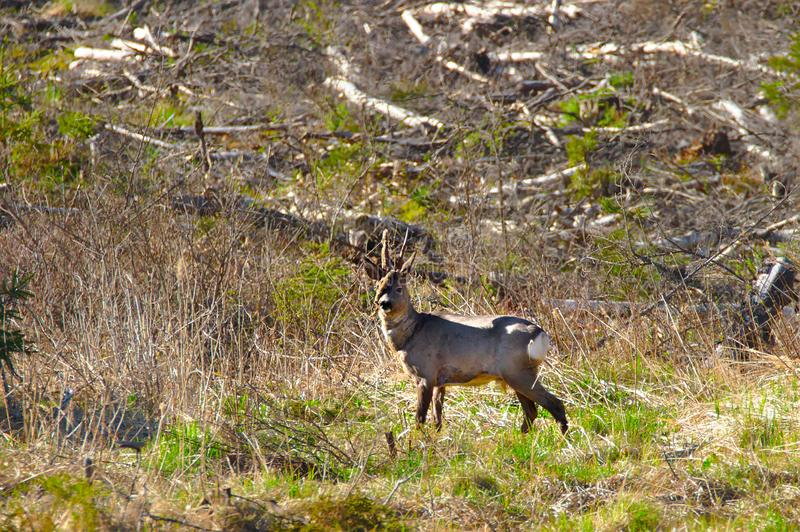 A roe deer. Standing and looking around at the edge of the forest stock photos