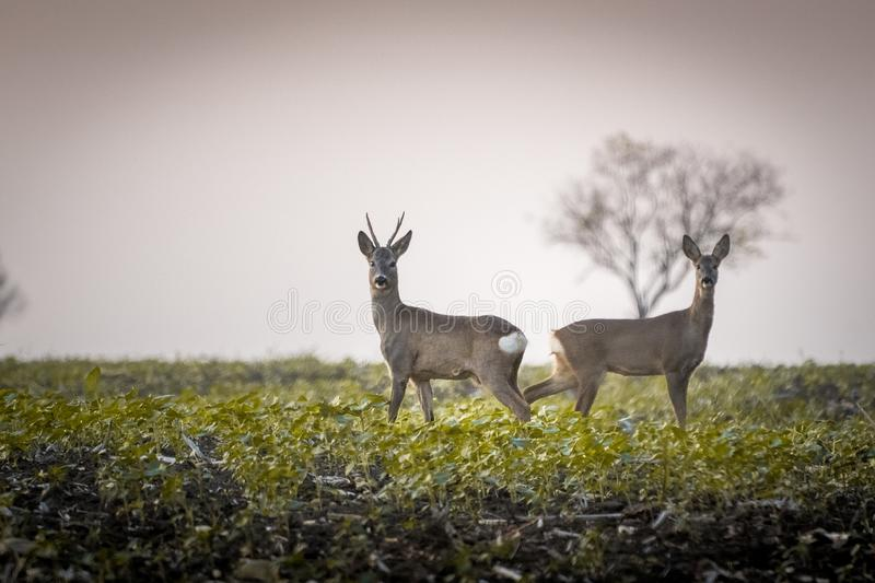 Roe deer and roe standing in agricultural field royalty free stock photo