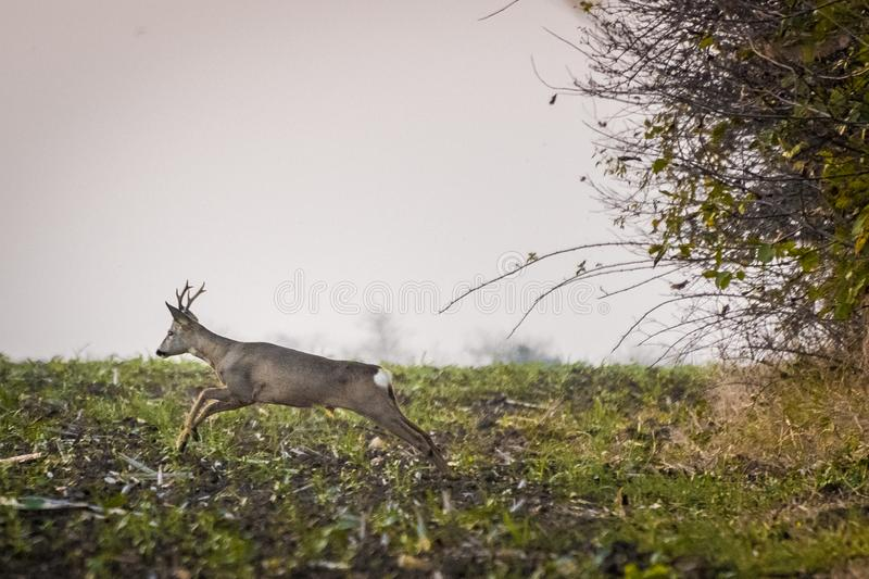 Roe deer running across agricultural field royalty free stock photo