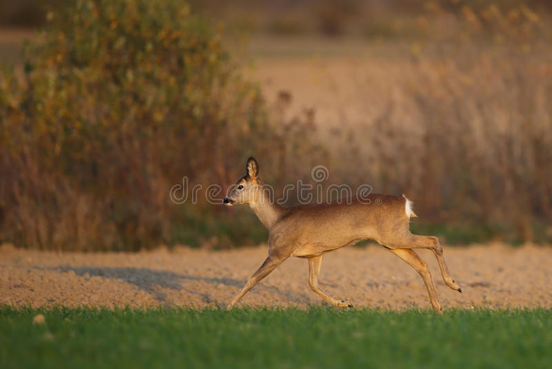 Roe deer running royalty free stock images