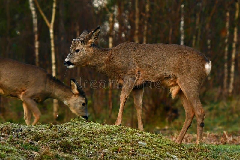 Roe deer, Capreolus capreolus saliva flows as he chews after eating plants stock photos