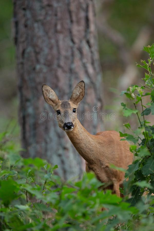 Roe Deer sauvage dans un buisson photo stock