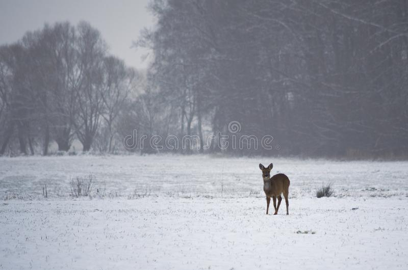 Roe deer on a snowy meadow. stock photography
