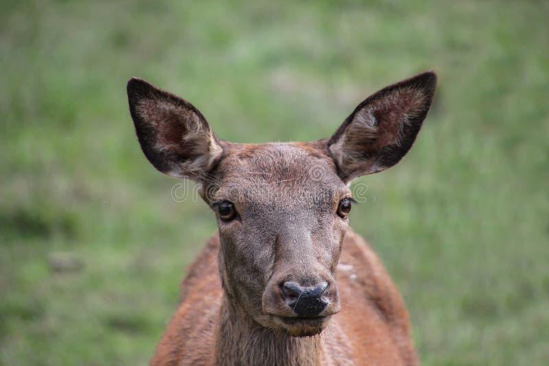 Roe deer standing in a field. Roe deer in the summer stock photos