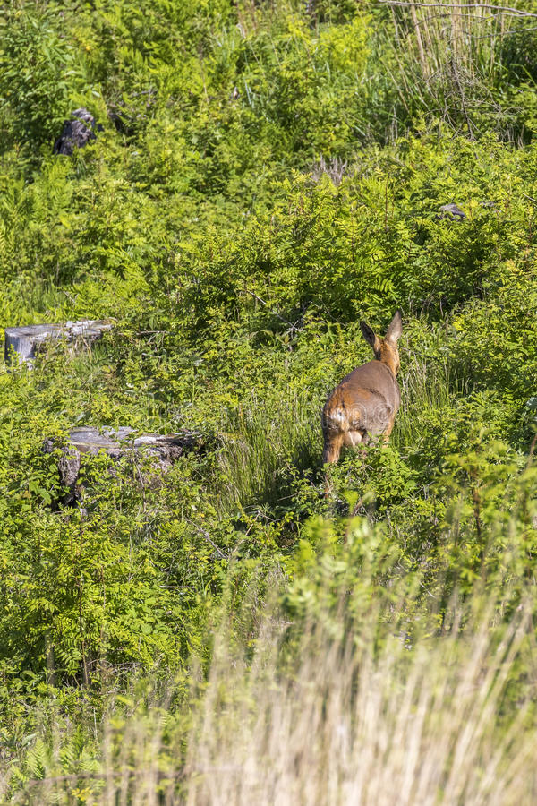 Roe deer walking on a clearcut. In summer greenery royalty free stock photos
