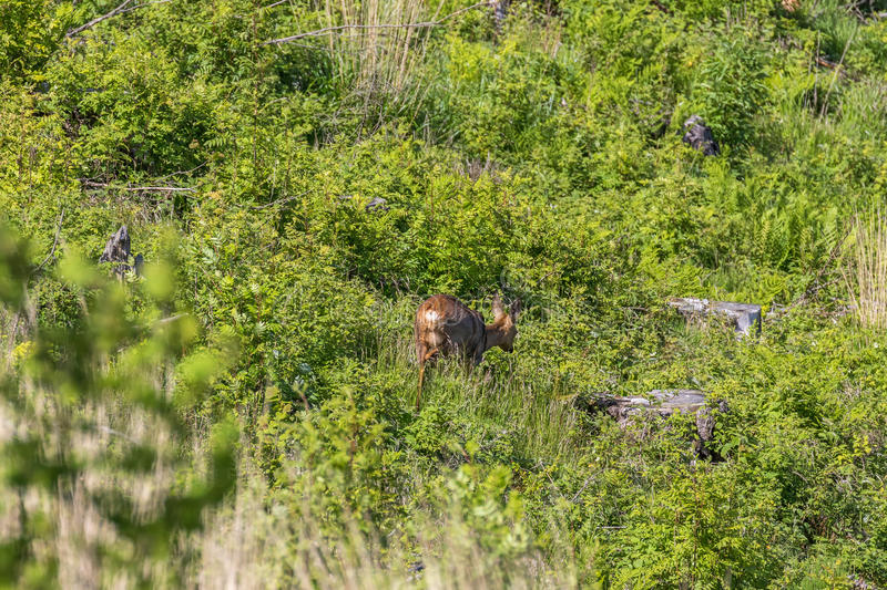 Roe deer walking. On an old clearcut during the summer stock photography